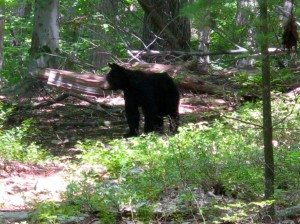 Black Bear on trail