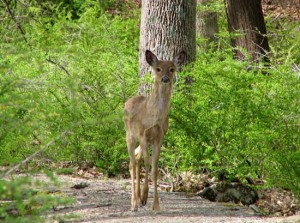 white tailed deer in Harriman State Park