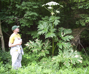 Giant hogweed towers over man