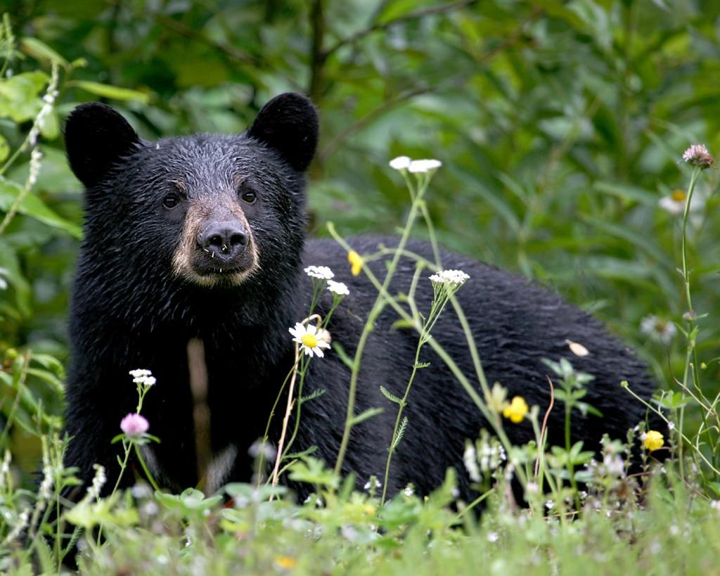 Black Bear-Jitze Couperus-Flickr.com