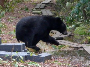 Bear in Cedar Swamp