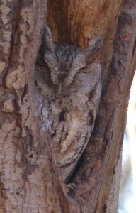 Screech Owl (Photo credit: Steve Kelman)